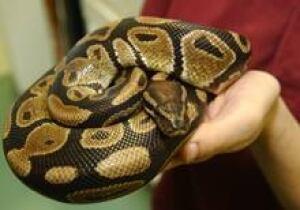small-python-220