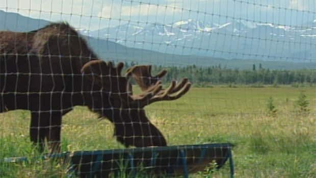 The wildlife preserve near Whitehorse has 10 species of northern Canadian mammals in their natural environment.