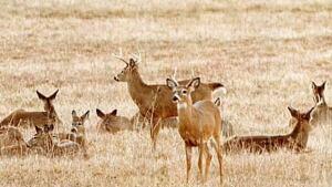 li-bc-whitetail-deer-600
