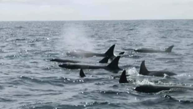 B.C.'s Northern Resident orcas appear to be finding food scarce this summer, researchers say.