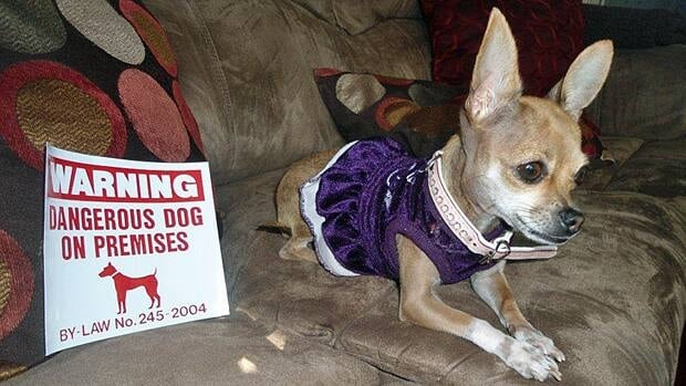 A Windsor chihuahua has been designated a dangerous dog after a letter carrier claims she was bitten on her ankle.