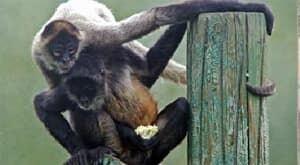 mi-spidermonkeys-calgary-zoo-300