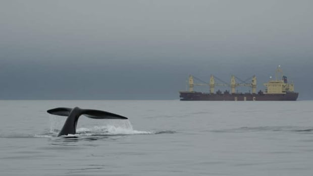 A right whale near a large ship in the Bay of Fundy, which is their principal summer feeding waters.