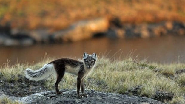 The loss of sea ice is expected to lead to isolation and increased inbreeding among Arctic foxes, which currently use ice to travel between populations.
