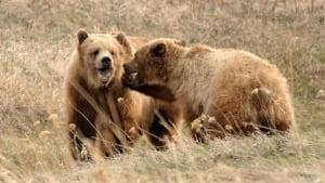 hi-grizzly-bear-alberta