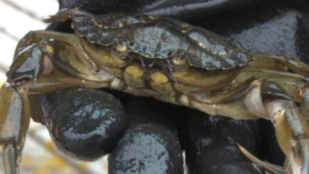 The aggressive green crabs have caused some problems with local species. (CBC)