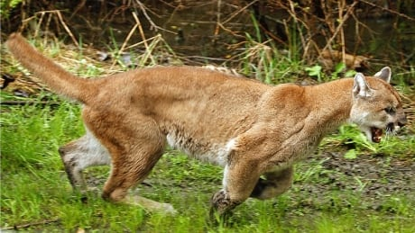 winfield cougar women Though an 11-year-old winfield, ill boy raced to grab a baseball bat in an attempt to scare off a coyote with an eye on his family's tiny yorkshire terr.