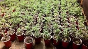hi-bc-130613-medical-marijuana-keating-4col