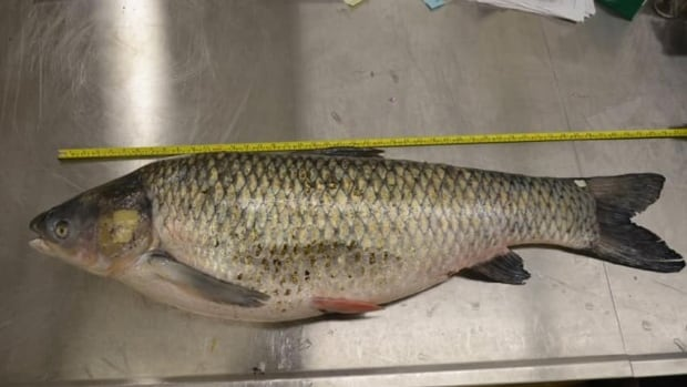 Fisheries and Oceans Canada and the Ontario Ministry of Natural Resources confirmed one grass carp was caught in the Grand River near Lake Erie earlier this year.