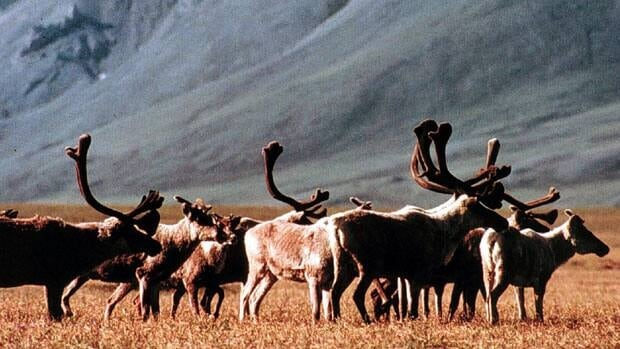 The B.C. government wants to save a dwindling caribou herd in the Purcell region.