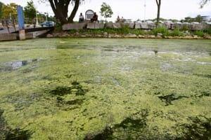 algae-near-bayfront-300
