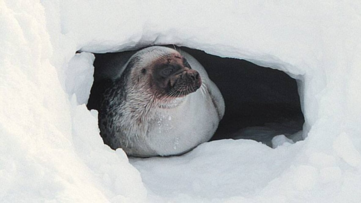 related pictures seal arctic - photo #48
