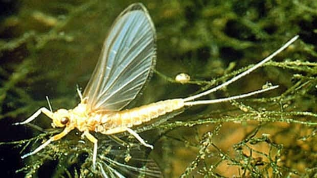 The main purpose of mayflies is to add to the food chain, as fish, small mammals and cats eat them.