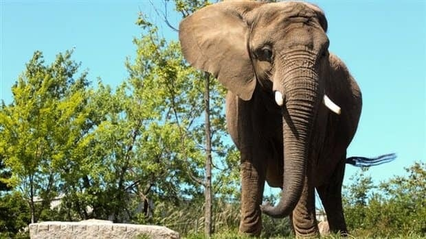 Toutoune, an African elephant, died from complications linked to pneumonia at the Granby Zoo.
