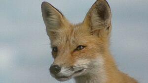 pe-hi-fox