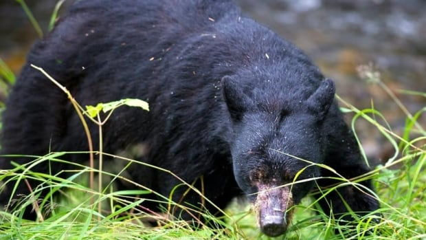 A black bear, like the one seen in the file photo above, attacked a woman in Belmont, Ont., on Sunday afternoon, police say.
