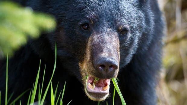 Black bear at the Mendenhall Glacier Visitor Center in Juneau, Alaska, on Thursday, May 16, 2013.