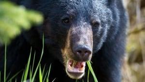 li-bear-again-620