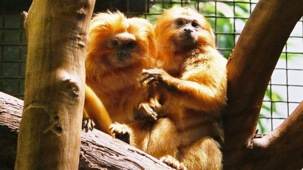 About nine per cent of mammals are socially monogamous, including many monkeys such as golden lion tamarins (above), beavers, wolves, meerkats and naked mole rats.