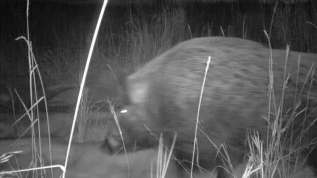 University of Saskatchewan researchers took these night vision images of wild boars last December.