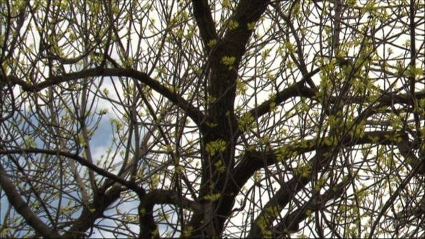 li-ash-tree