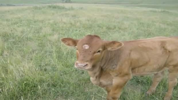 In a YouTube video, Werner Bock claims the spot visible on this cow's head is a burn mark.