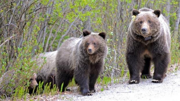 li-bear-64-jack-borno-620