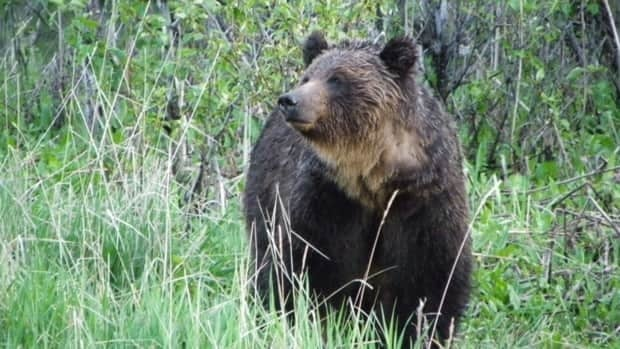 Alberta government officials say that 11 grizzlies were killed illegally last year.