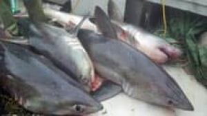 si-nb-porbeagle-sharks-220