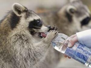 si-raccoon-bottle-220-00767