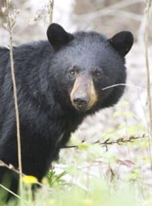 si-bear-timmins-220-0271030