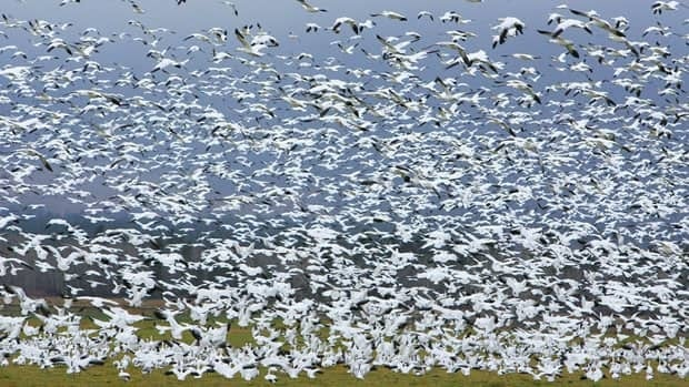 In this Thursday, Nov. 18, 2010 photo, more than 8,000 snow and Ross' geese migrate into the Bitterroot Valley near Stevensville, Montana. More and more geese are making their way to the Arctic.