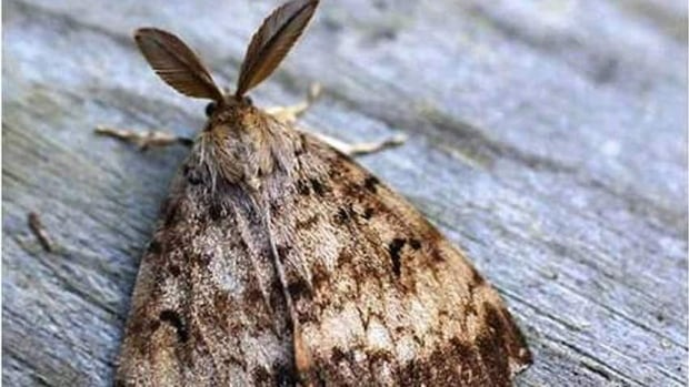 Populations of gypsy moth could be knocked back by this long winter.