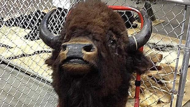 This mounted bison head is just one of thousands of items uncovered in a stolen goods bust by Edmonton police. Police are hoping to reunite owners with their property.
