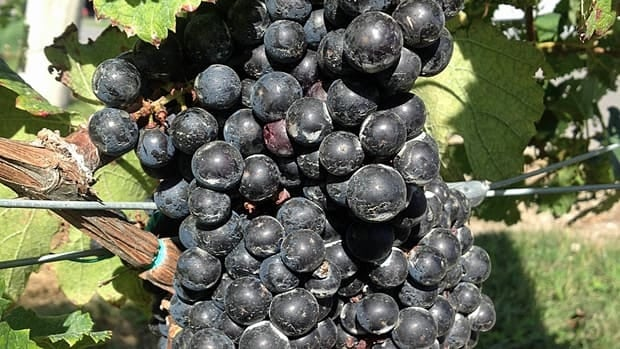 Grape harvesting has started and should last until the end of October.