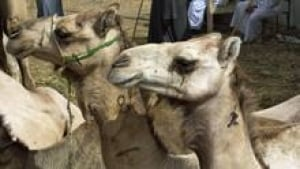 si-mers-camels-220-cp-04836