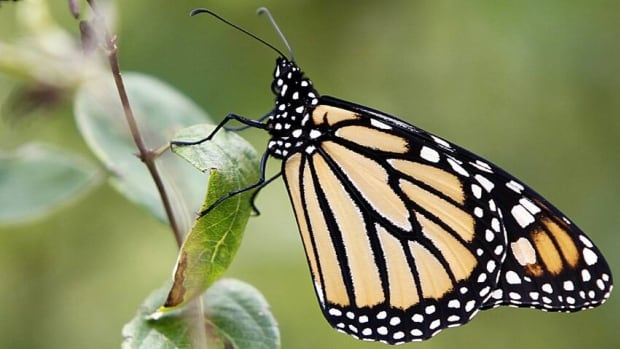 It's unclear what would happen to the Monarchs if they no longer migrated.
