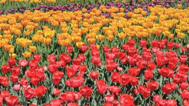 Though tulip festivals have been popular in cities across Canada, this marks the first year Charlottetown has participated.