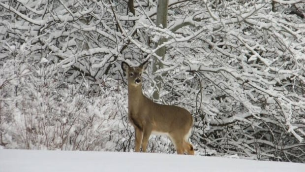 During a normal winter, whitetail deer don't need help getting food, because they have evolved and adapted to the northern climate, an OFAH official says.