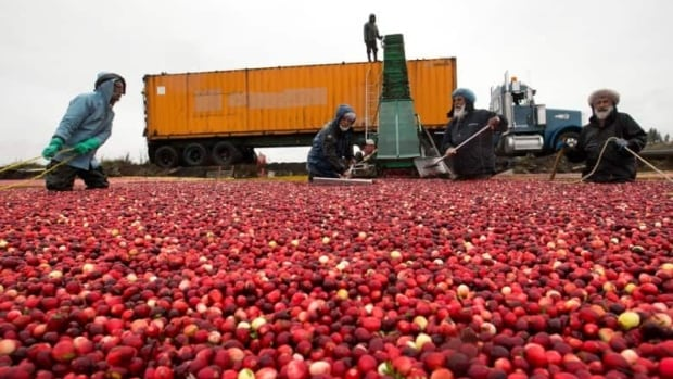 About 500,000 kilograms were harvested on P.E.I. last year.