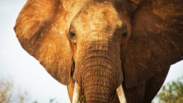 The government of Kenya will be running of the country's wildlife authority in a bid to stop poaching of the country's elephants and rhinos. About 302 elephants and 59 rhinos were killed in 2013.