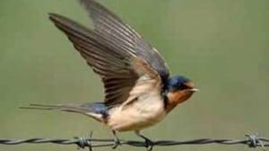 Bobolink, barn swallow programs on P.E.I. exceed ...
