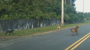 Pit bulls roaming the roads in Popkum
