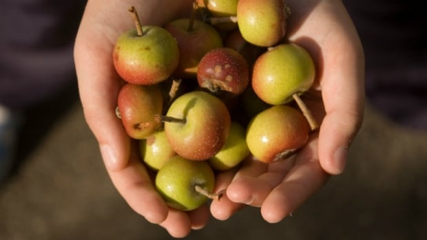 Crabapples are ready to harvest in most Calgary backyards right now.