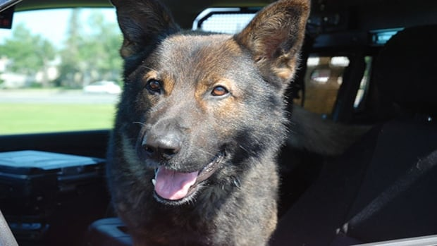 The driver ran off but a police dog named Chevy tracked him down in a nearby field.