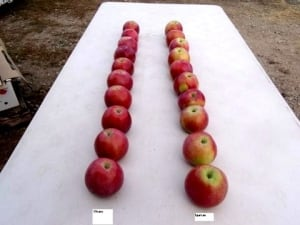 Okana apples