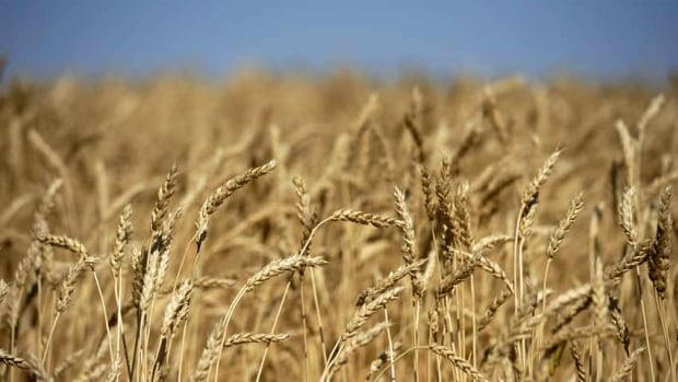 Yields of wheat and other grains have been surpassing records all across the Prairies, with some crop harvests expected to be up by more than 10 per cent over last year.