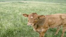 Werner Boch cattle