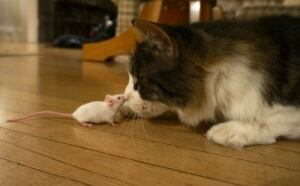 toxoplasmosis-mouse-cat