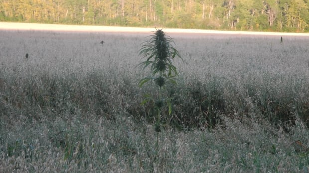 Pot plants peak out of a Manitoba farmer's oat fields. He discovered the plants over the weekend and reported it to RCMP.